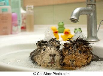 engraçado, animais, piscina