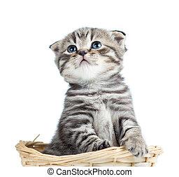 engraçado, bebê, escocês, britânico, gatinho, sentando, em, cesta