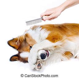 engraçado, cão, mostrando, medo, de, aparência