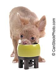 engraçado, chihuahua, comer, isolado, bown, experiência verde, branca, filhote cachorro