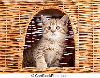 engraçado, pequeno, escocês, gatinho, sentando, dentro, vime, gato, casa