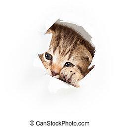 engraçado, rasgado, olhar, papel, gatinho, buraco, saída