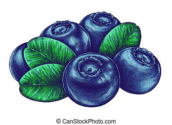 Engrave isolated blueberry hand drawn graphic illustration