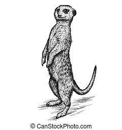 engrave isolated meerkat illustration sketch. linear art