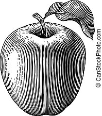 Engraved apple - Engraved illustration of an apple. Vector