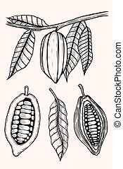 engraved illustration of cocoa beans