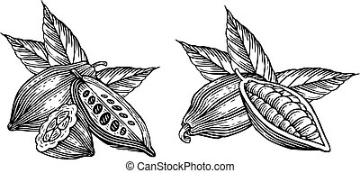 cocoa beans - engraved illustration of leaves and fruits of...