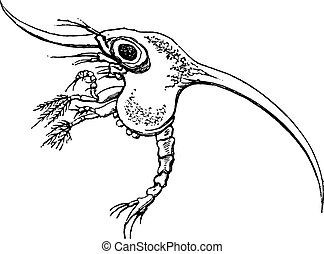 engraving., カニ, 幼虫, 型
