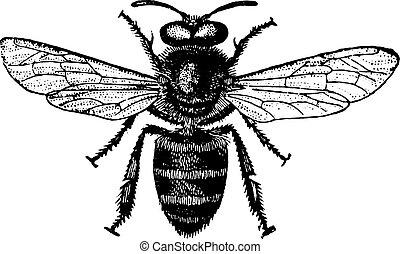 engraving., 蜂蜜, 型, 蜂