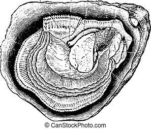 engraving., anatomie, oester, ouderwetse