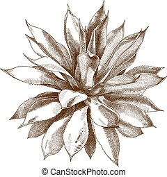 engraving antique illustration of agave bush - Vector ...