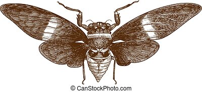 Vector antique engraving drawing illustration of cicada tosena albata isolated on white background