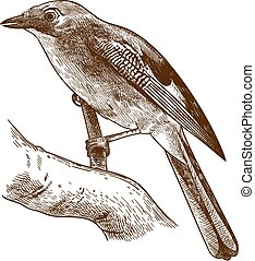 Vector antique engraving drawing illustration of Eurasian jay bird isolated on white background