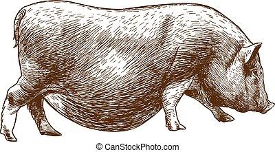 engraving antique illustration of hog - Vector antique...