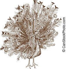 Vector antique engraving illustration of peafowl pheasant isolated on white background