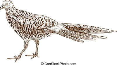 Vector antique engraving drawing illustration of pheasant female isolated on white background