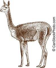 engraving antique illustration of vicuna - Vector antique ...