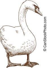Vector antique engraving drawing illustration of white mute swan isolated on white background