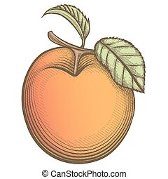 engraving apricot in vintage style