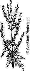 engraving., artemisa, vendimia
