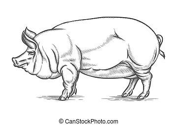 Engraving big pig or hog vector hand drawn illustration