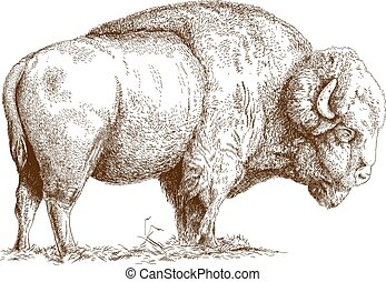 engraving bison - Vector antique engraving illustration of...