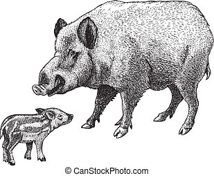 engraving boar and piglet - illustration of wild boar and...