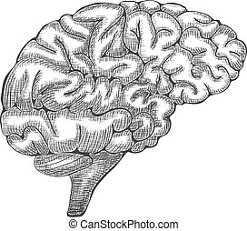 Engraving brain illustration, Hand Drawn Anatomical Illustration. Vector