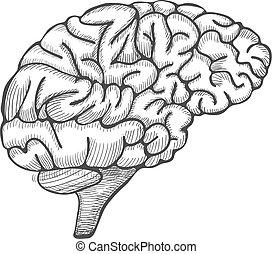Engraving brain illustration, Hand Drawn Anatomical Illustration. Vector