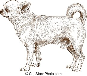 Vector antique engraving illustration of chihuahua dog isolated on white background