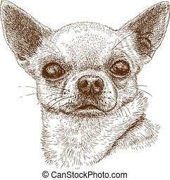 Vector antique engraving illustration of chihuahua head isolated on white background