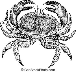 engraving., crabe, comestible, vendange
