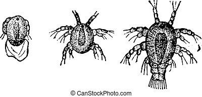 engraving., cyclops, larva, vindima