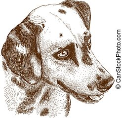 Vector antique engraving illustration of dalmatian head isolated on white background
