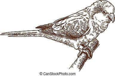 engraving drawing illustration of african monk parakeet -...