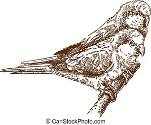 Vector antique engraving drawing illustration of two monk parakeet isolated on white background
