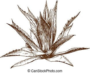 engraving drawing illustration of agave