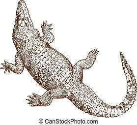 engraving drawing illustration of big crocodile - Vector...