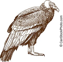 engraving drawing illustration of condor - Vector antique...