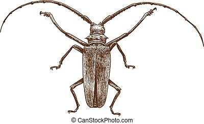 engraving drawing illustration of longhorn beetles - Vector ...