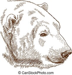 engraving drawing illustration of polar bear head - Vector...