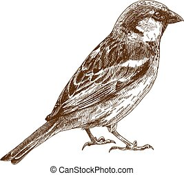 engraving drawing illustration of sparrow - Vector engraving...