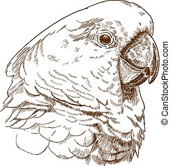 engraving drawing illustration of white cockatoo head -...