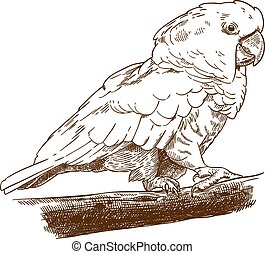 engraving drawing illustration of white cockatoo