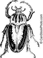 engraving., goliath, vendimia, escarabajos