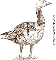 engraving goose - Vector antique engraving illustration of...