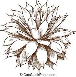 engraving illustration of agave bush - Vector antique ...