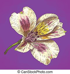 engraving illustration of alstroemeria flower in retro style...