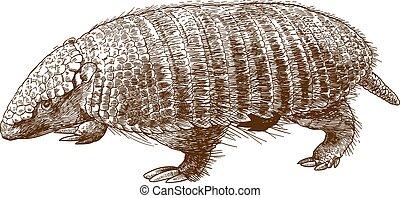 engraving illustration of armadillo - Vector antique...