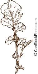 engraving illustration of arugula rocket salad